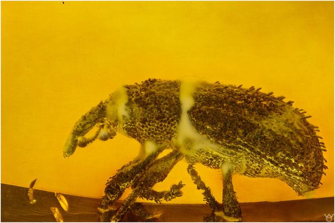 623, Curculionidae, Rüsselkäfer, Baltic Amber