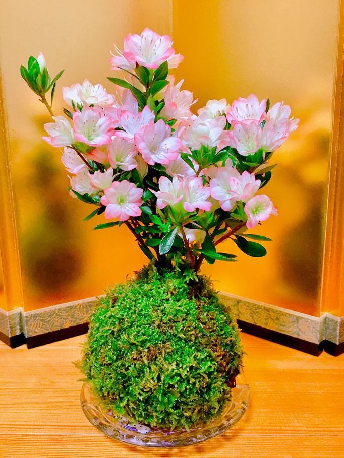 桜の花のように見える可愛いツツジのコケ盆栽
