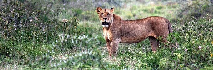 Lioness on alert