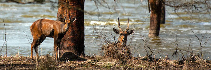 Bushbuck on the shore of Lake Elmenteita