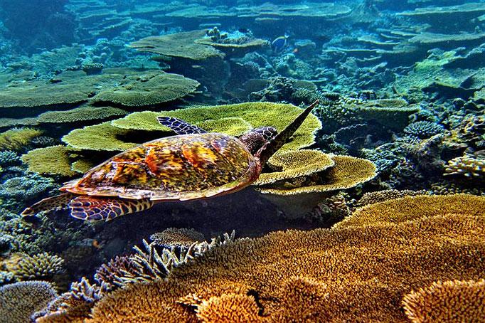 Tartaruga marina a Priison Island - Zanzibar