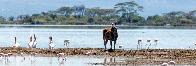 Eland, Great White Pelican and Greater Flamingo at Lake Elmenteita