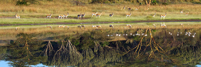 Thomson's Gazelle with acacia and euphorbia trees reflecting in Lake Elmenteita
