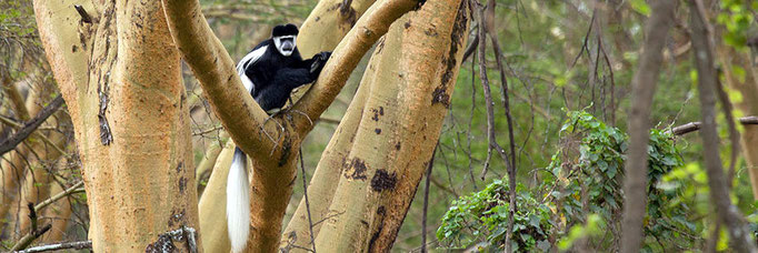 Colobus guereza with the long white fringes of hair along its back and tail
