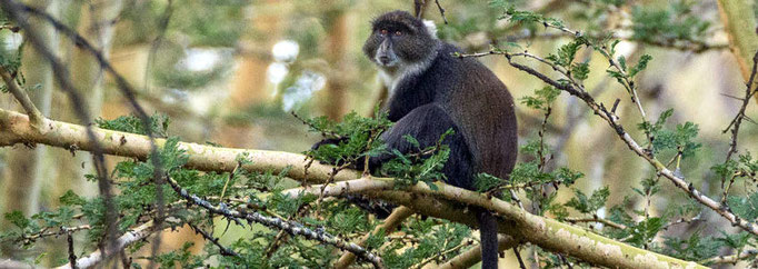 Sykes' monkey also known as the white-throated monkey
