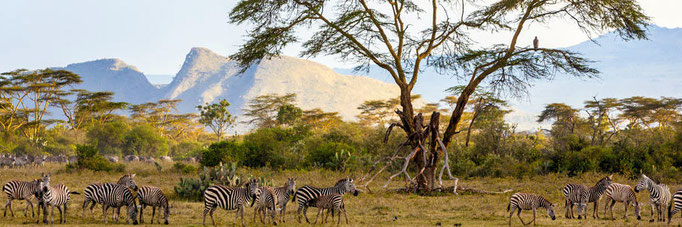 Burchell's Zebra gathering around the old acacia tree with the Sleeping Warrior caldera in the background