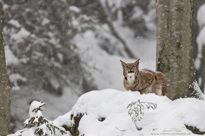 Alles Gute kommt von oben! Der Luchs beobachtet den dichten Schneefall. Was für ein Moment!