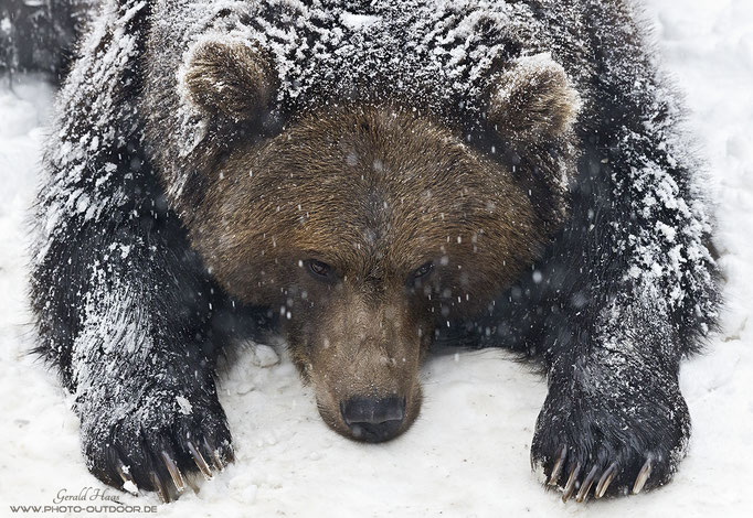 photo-outdoor kommt und der Bär wollte unbedingt mein Bettvorleger werden. Aber mit so viel Schnee im Pelz habe ich ihn dann doch nicht genommen...