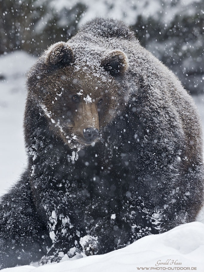 Dichter Schneefall überzuckert das Fell des Bären.