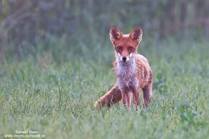 Früh am Tag: Ein junger Fuchs streift durch die mit Morgentau besetzte Wiese.