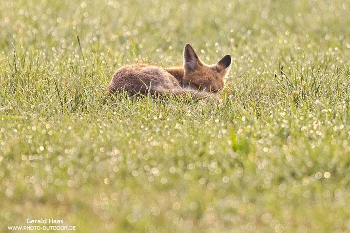 Groß werden kann so anstrengend sein: Ein junger Fuchs hält in der Morgensonne ein kleines Schläfchen.
