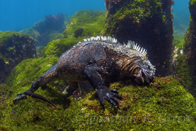 Marine Iguana feeding under water while diving in Cape Douglas in Galapagos, ©Galapagos Shark Diving