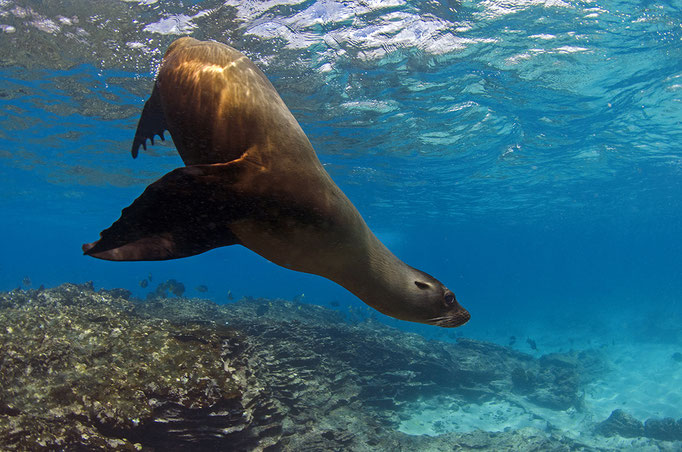 Sea lion while diving in Galapagos, ©Galapagos Shark Diving