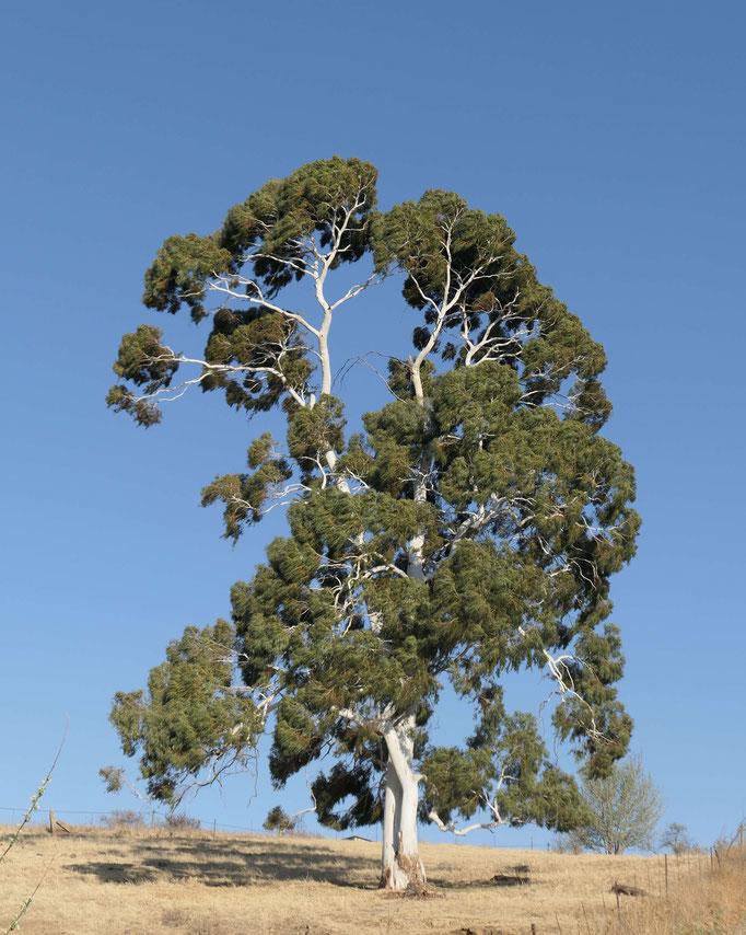 Einzeln stehender Eukalyptusbaum