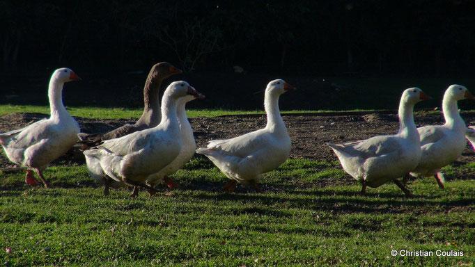 Oies blanches et grises, Elevage des Barthes, Camarsac