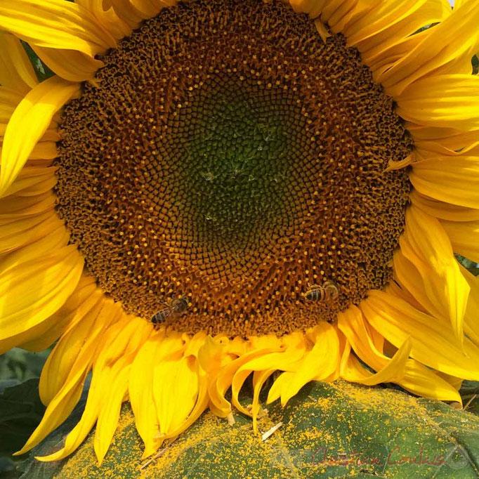 Plaine céréalière du Haut-Poitou, abeilles sur fleur de tournesol, Avanton, Vienne