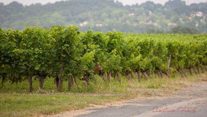 Mâles et femelles se glissent aisément sous les rangs de vigne. Photographie © Christian Coulais