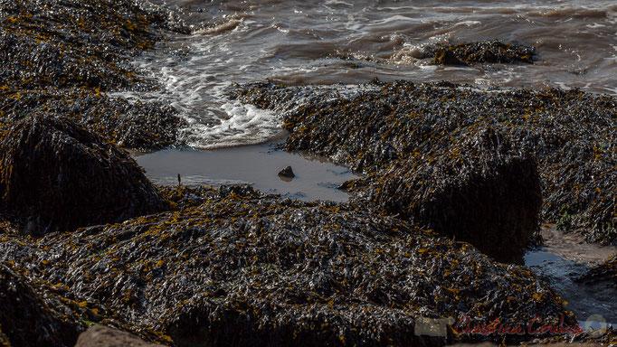 Estuaire de la Gironde, Algues, la roche du Caillaud, Talmont-sur-Gironde