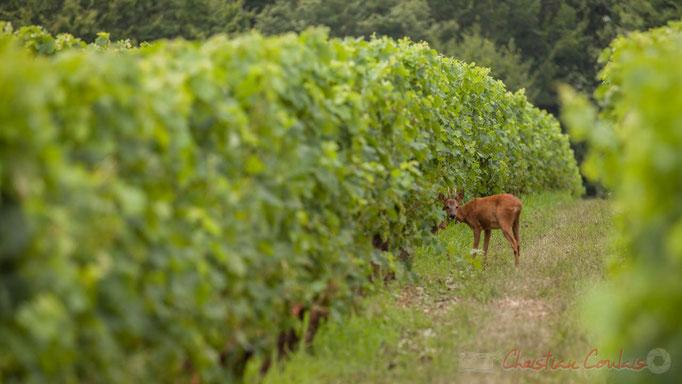 Les chevreuils sont friands de jeunes poussent de vigne, d'arbre, de rosiers. Photographie © Christian Coulais