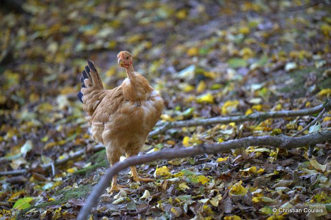 Poules et poulets de l'Elevage des Barthes, Camarsdac