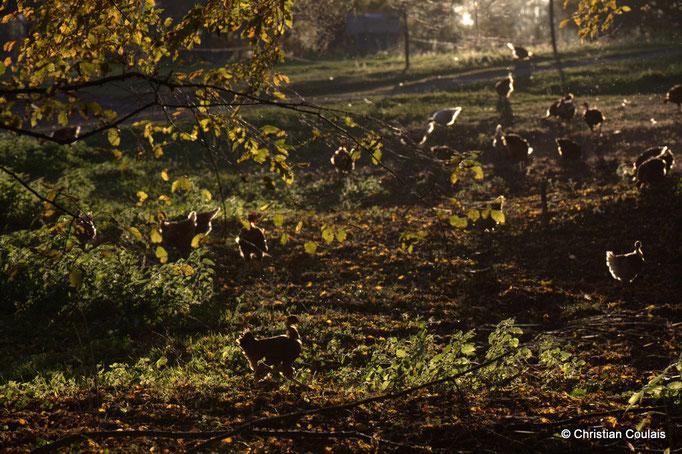 Poules et poulets de l'Elevage des Barthes, Camarsac