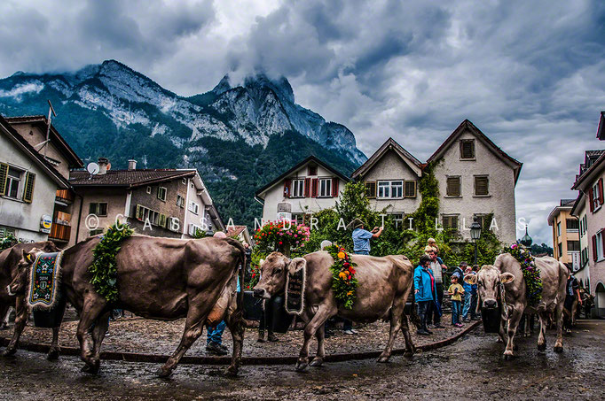 The Alpabfahrt in Mels, Switzerland. Many towns and villages throughout the country welcome these special decorated guests every autumn when they all make the long journey down from the mountains for the winter.