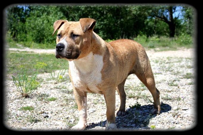 GHOST OF TITANS DE LA GARDE DIVINE lice american staffordshire terrier gros gabarit