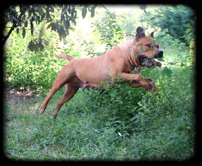 BALKANE lice american staffordshire terrier de l'élevage de La Garde Divine