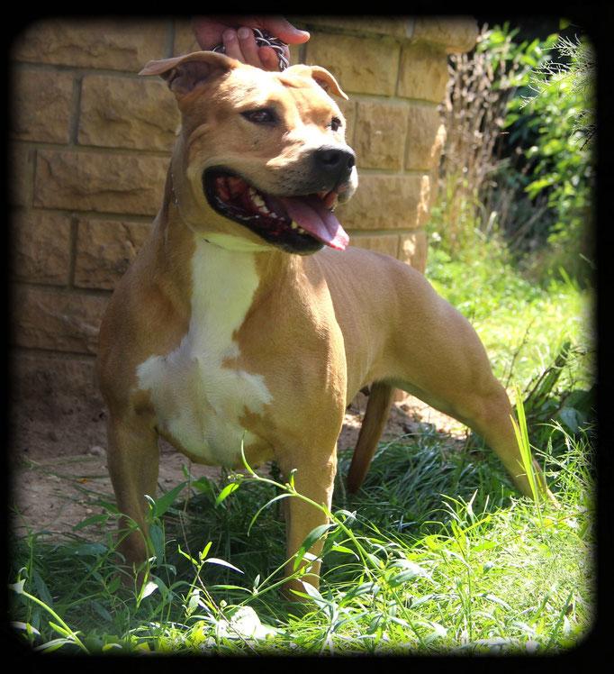DIVA DE LA GARDE DIVINE lice american staffordshire terrier