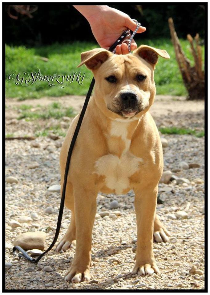 JERSEY COYOTE GIRL DE LA GARDE DIVINE  8 mois femelle American staffordshire terrier