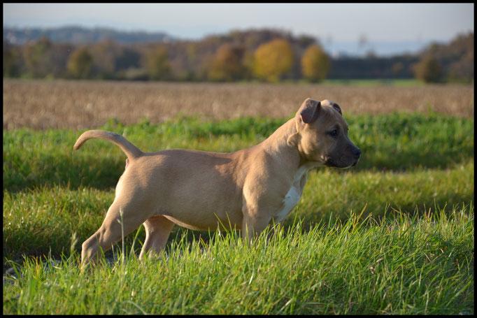 J-LO'CA DE LA GARDE DIVINE femelle american staffordshire terrier à 3 mois