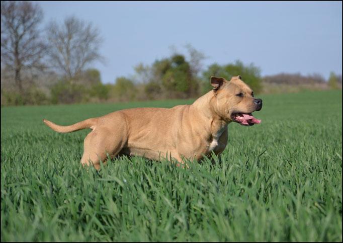LIL KIM DE LA GARDE DIVINE femelle American staffordshire terrier de très gros gabarit LYON