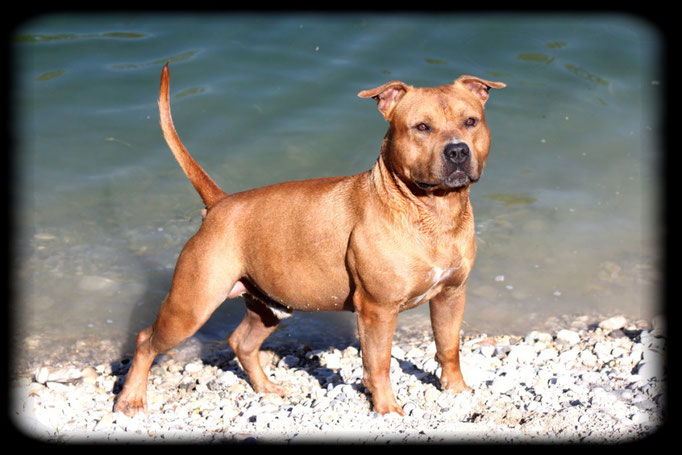 EAST COAST DE LA GARDE DIVINE mâle american staffordshire terrier
