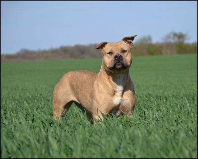LIL KIM DE LA GARDE DIVINE femelle American staffordshire terrier de très gros gabarit FRANCE