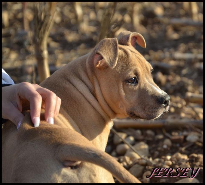 JERSEY COYOTE GIRL DE LA GARDE DIVINE femelle american staffordshire terrier à 3 mois