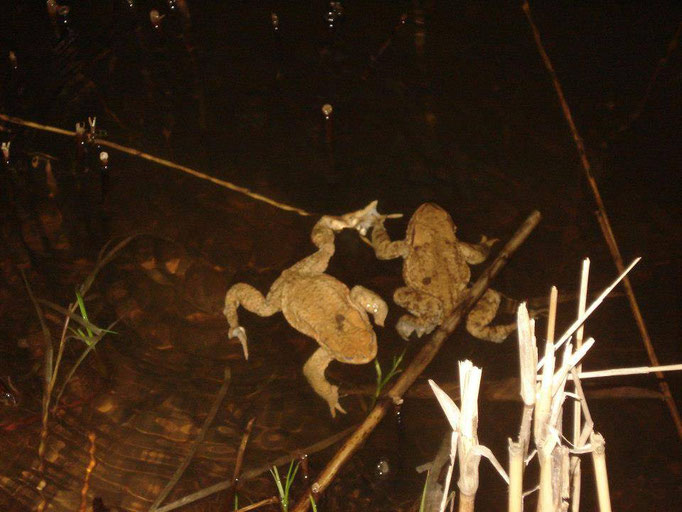 Kröten im Teich