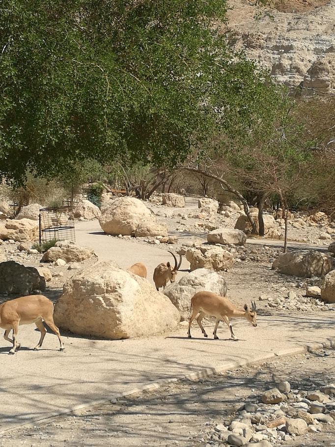 Wild goats at Ein Geddi