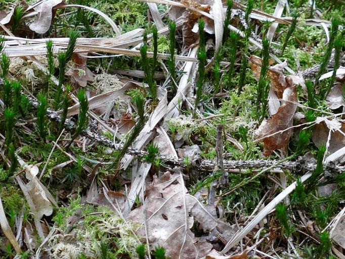 Polytrichium mit angelegten Blättern und bleiches Thuidium