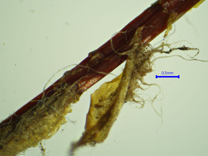 Bild 19 abgestorbene Blattscheide mit Rhizoidfilz