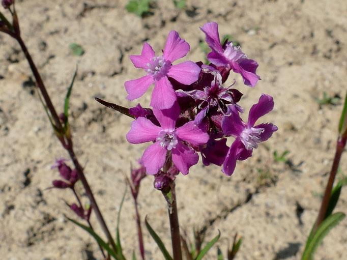 Pechnelken wachsen auf bodensauren Magerwiesen