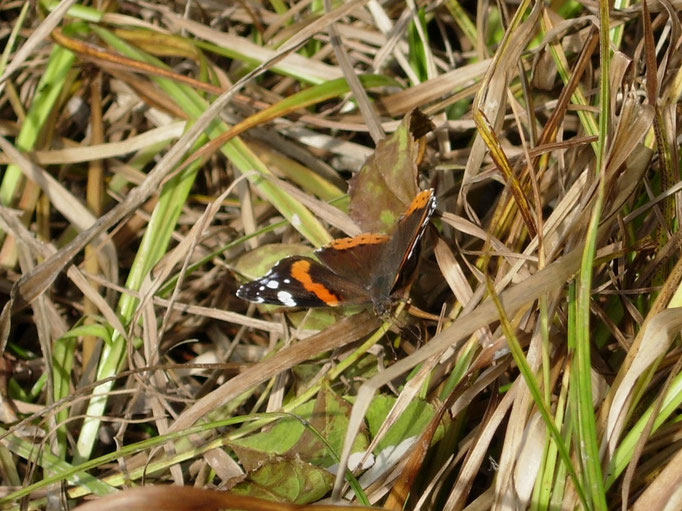 Ein Admiral nimmt den auf das Gras herunter getropften Honigtau auf