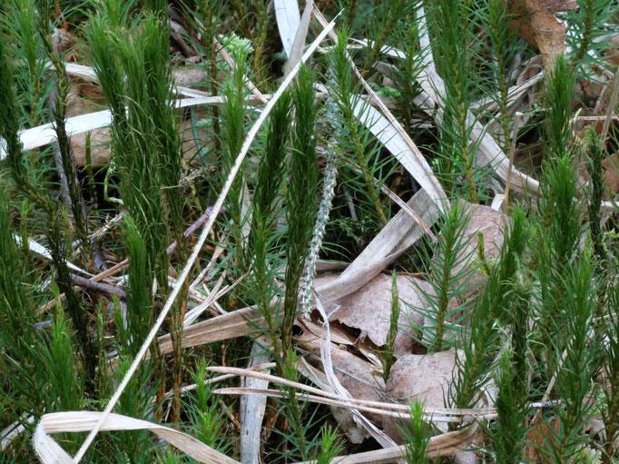 Bild 2 Habitus trockene Pflanze