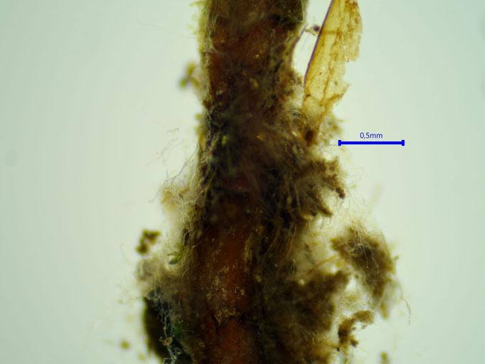 Bild 4 unterer Stammteil mit Rhizoidenfilz