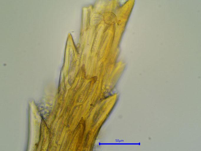 Bild 12 Auf dem Rücken der Blattspitze befinden sich auch Zähne
