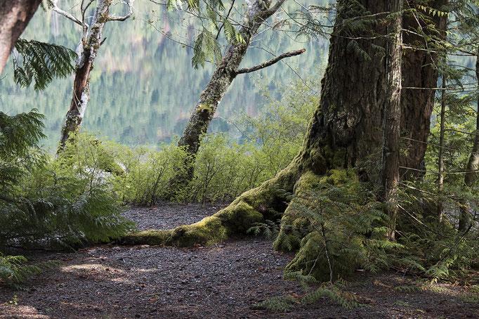 Wald in von Britsh Columbia, Kanada