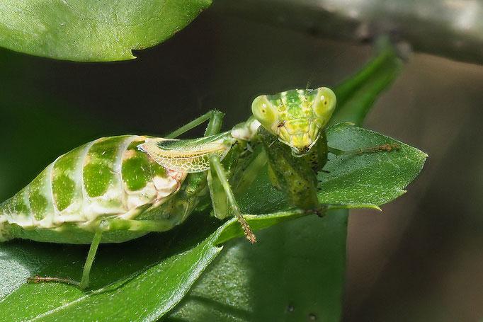 Junge Fangschrecke