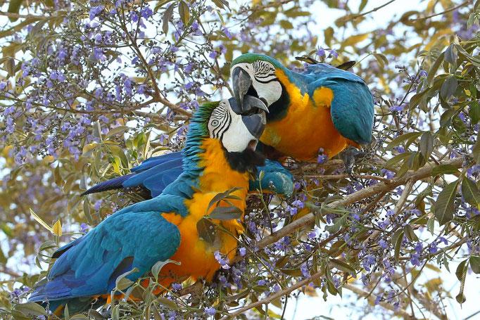 Gelbbrust-Aras - Nord-Pantanal (Brasilien)