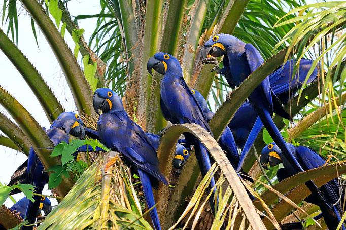 Hyazinth-Aras - Süd-Pantanal (Brasilien)