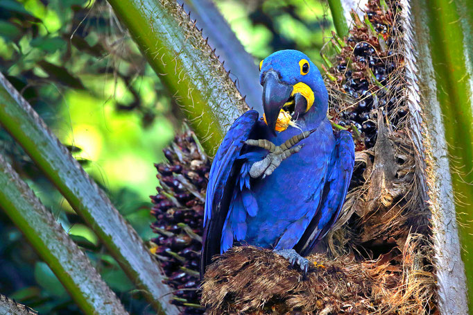 Hyazinth-Ara - Süd-Pantanal (Brasilien)