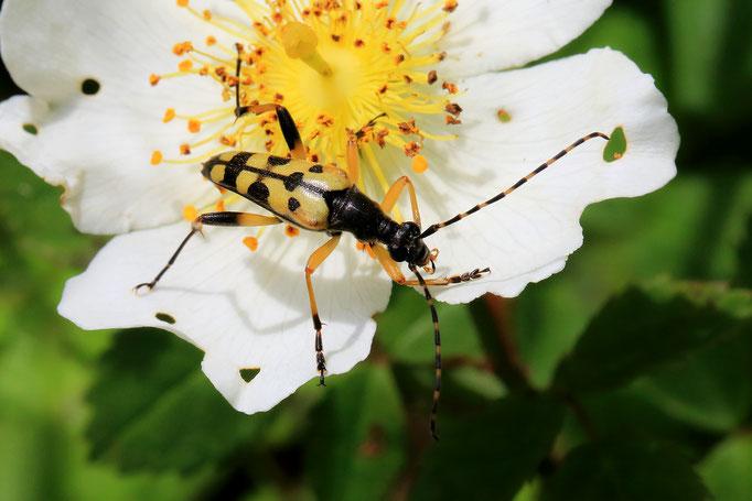 Schmalbock-Käfer